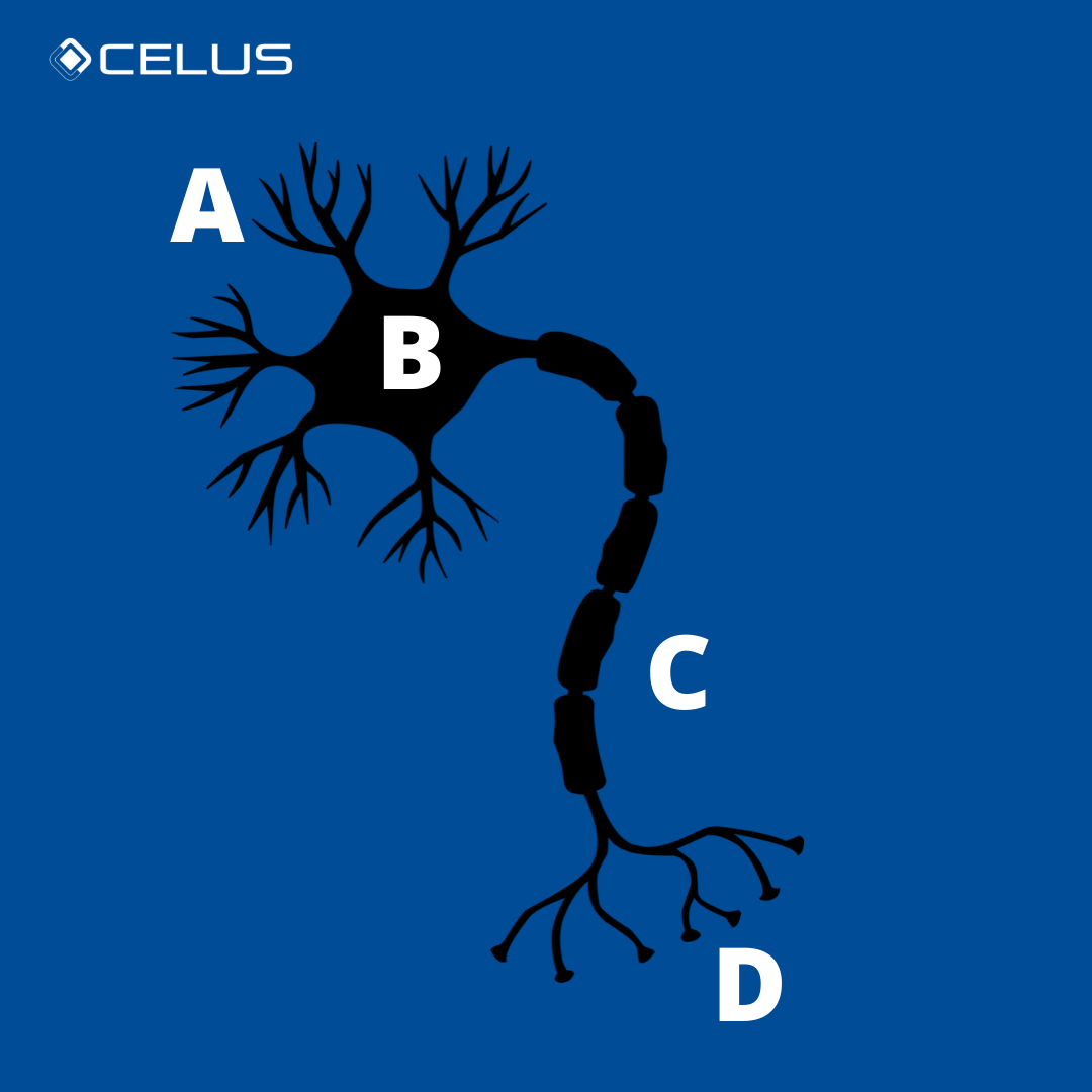 A: dendrites, B: cell body,C: axon, D: synapses